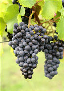 red grapes 133.jpg
